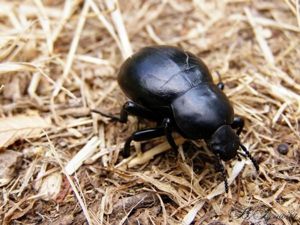 Бръмбарче
